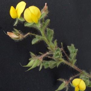 Photographie n°35795 du taxon Ononis natrix L. [1753]