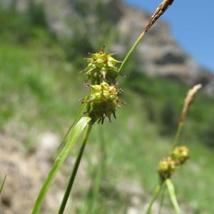 Photographie n°35799 du taxon Carex flava L. [1753]