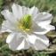 Marie  Portas - Ranunculus kuepferi Greuter & Burdet [1987]