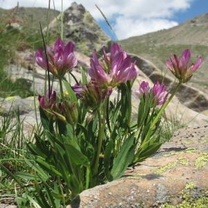Photographie n°35835 du taxon Trifolium alpinum L.