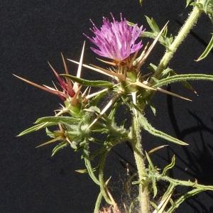 Photographie n°35844 du taxon Centaurea calcitrapa L. [1753]