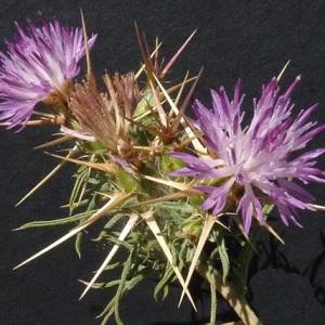 Photographie n°35845 du taxon Centaurea calcitrapa L. [1753]