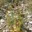 BERNARD Ginesy - Ophrys ciliata Biv. [1806]