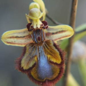 Photographie n°35877 du taxon Ophrys ciliata Biv. [1806]