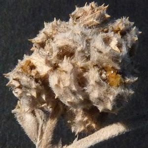 Photographie n°35919 du taxon Medicago marina L. [1753]