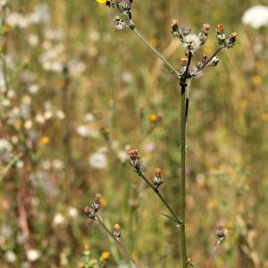 Photographie n°35942 du taxon Picris hieracioides L.