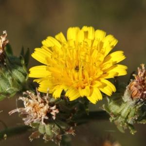 Photographie n°35943 du taxon Picris hieracioides L.