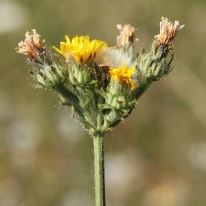 Photographie n°35945 du taxon Picris hieracioides L.