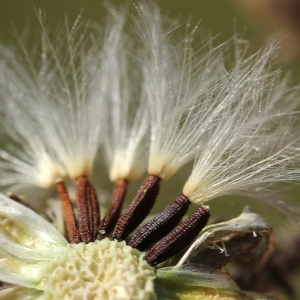 Photographie n°35946 du taxon Picris hieracioides L.