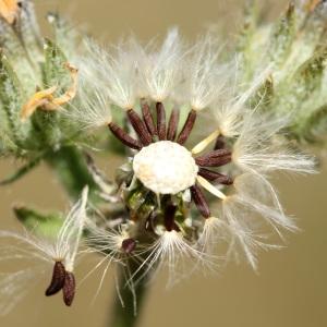 Photographie n°35947 du taxon Picris hieracioides L.