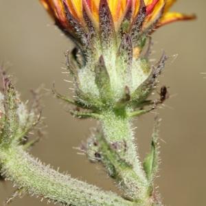 Photographie n°35948 du taxon Picris hieracioides L.