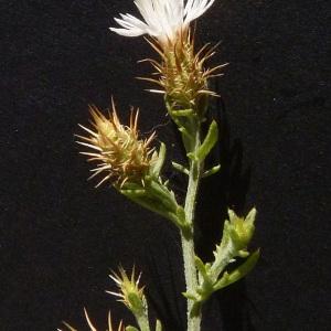 Centaurea calolepis Boiss. (Centaurée diffuse)
