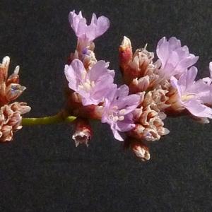 Limonium girardianum (Guss.) Fourr. (Limonium de Girard)