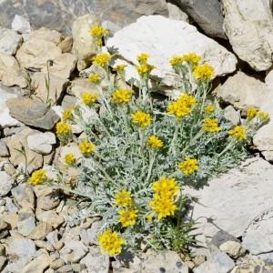 Photographie n°36034 du taxon Senecio incanus L.