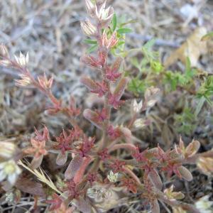 Photographie n°36107 du taxon Sedum rubens subsp. rubens
