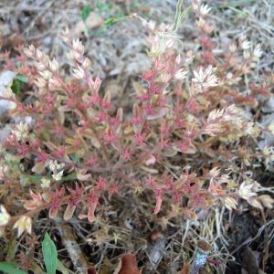 Photographie n°36108 du taxon Sedum rubens subsp. rubens