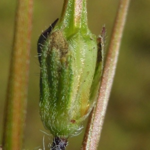 - Erodium cicutarium subsp. cicutarium