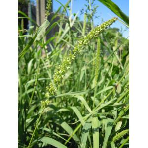 Setaria verticillata (L.) P.Beauv. var. verticillata