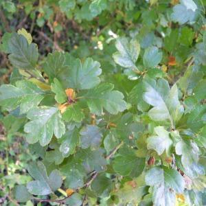 Photographie n°36202 du taxon Crataegus laevigata (Poir.) DC.