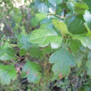 Photographie n°36203 du taxon Crataegus laevigata (Poir.) DC.