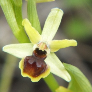 Photographie n°36210 du taxon Ophrys virescens Philippe [1859]
