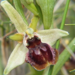 Photographie n°36214 du taxon Ophrys virescens Philippe [1859]