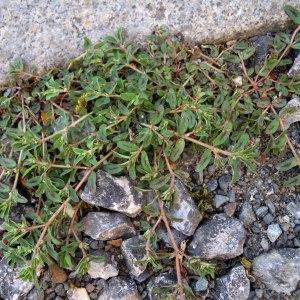Photographie n°36237 du taxon Euphorbia maculata L. [1753]