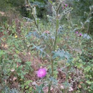 Photographie n°36240 du taxon Carduus crispus subsp. multiflorus (Gaudin) Gremli [1878]