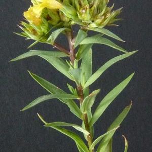 Photographie n°36280 du taxon Linum strictum L. [1753]
