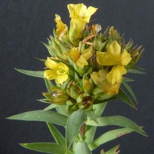 Photographie n°36282 du taxon Linum strictum L.