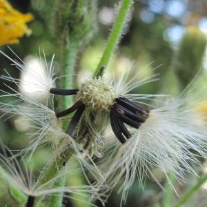Photographie n°36304 du taxon Hieracium lachenalii Suter
