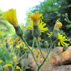 Photographie n°36305 du taxon Hieracium lachenalii Suter