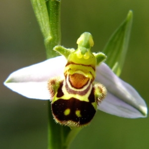 Photographie n°36316 du taxon Ophrys apifera Huds. [1762]