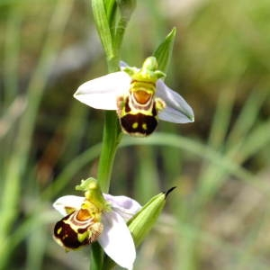 Photographie n°36318 du taxon Ophrys apifera Huds. [1762]