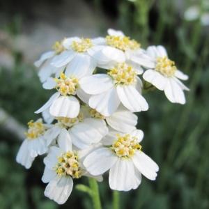 Photographie n°36346 du taxon Achillea erba-rotta All.