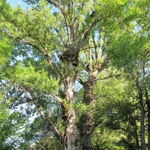 Photographie n°36375 du taxon Populus nigra L.