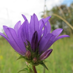Photographie n°36395 du taxon Campanula glomerata L.