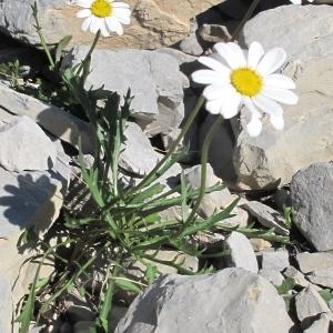 Leucanthemum coronopifolium Vill. (Marguerite à feuilles de coronope)