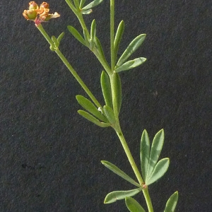 Photographie n°36458 du taxon Dorycnium herbaceum subsp. gracile (Jord.) Nyman [1878]