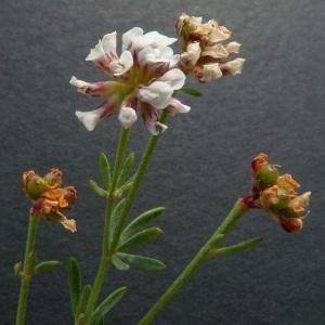 Photographie n°36459 du taxon Dorycnium herbaceum subsp. gracile (Jord.) Nyman [1878]
