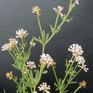 Photographie n°36460 du taxon Dorycnium herbaceum subsp. gracile (Jord.) Nyman [1878]