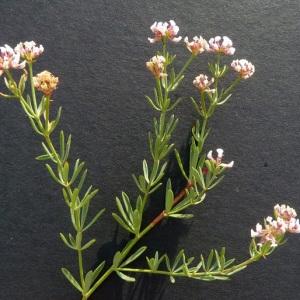 Photographie n°36461 du taxon Dorycnium herbaceum subsp. gracile (Jord.) Nyman [1878]