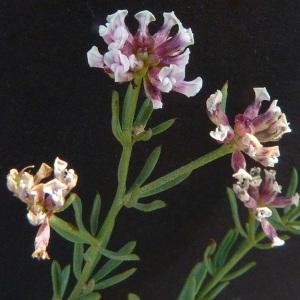 Photographie n°36462 du taxon Dorycnium herbaceum subsp. gracile (Jord.) Nyman [1878]