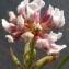 Bertrand BUI - Dorycnium herbaceum subsp. gracile (Jord.) Nyman [1878]