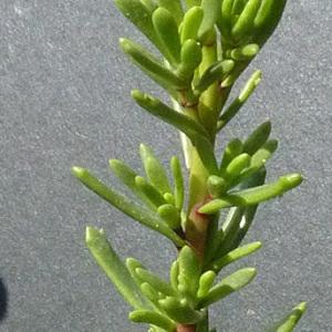 Photographie n°36495 du taxon Inula crithmoides L. [1753]