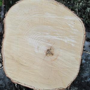 Photographie n°36522 du taxon Acer pseudoplatanus L.