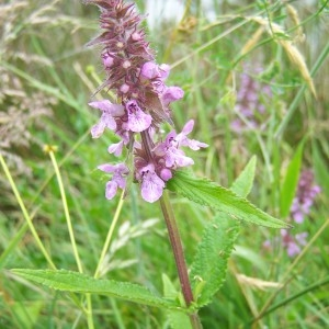 Photographie n°36526 du taxon Stachys palustris L.
