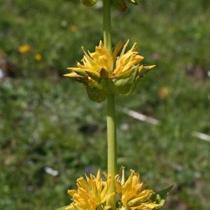Photographie n°36555 du taxon Gentiana lutea L. [1753]
