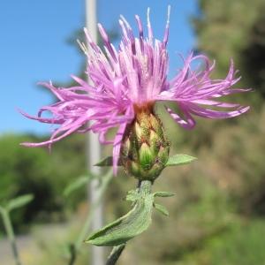 Photographie n°36687 du taxon Centaurea paniculata L.