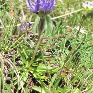 Phyteuma globulariifolium subsp. pedemontanum (R.Schulz) Bech. (Raiponce du Piémont)